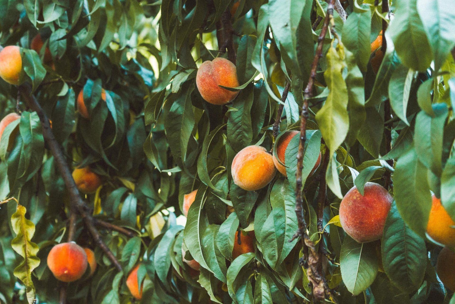 mirabelle steinfrucht